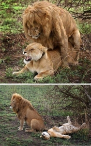Lions humping